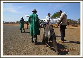 Baby elephant rescuedand airlifted to nairobi