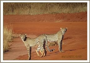 3 Cheetahs seen at Powerline area