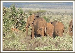 A family of very hostile elephants that charged