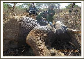 Treatment of a wounded elephant
