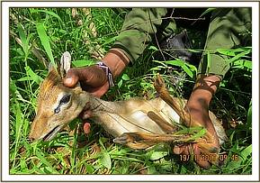 Rescuing a Dikdik at Shifta Rock area