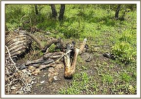 Giraffe carcass found in the Chyulu Hills NP