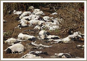 Carcasses of sheep killed at chyulu hills
