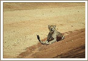 Cheetah sighted at Chairock area