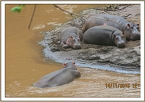 Hippos sighted at Tsavo river