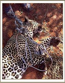 leopard killed due to human-wildlife conflict