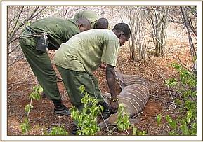 The team rescues the snared lesser-kudu