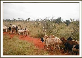 Illegal grazing in the park at Bachuma