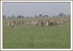 Zebras seen during patrols