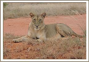 A LIONESS SIGHTED AT SATAO AREA