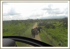 Driving elephants back to the park