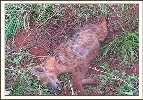 Hyena dies after feeding  on poisoned carcass