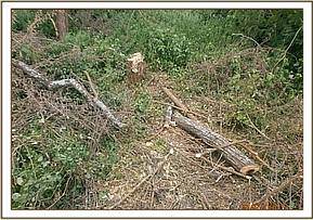 Illegal logging at Dwa forest.