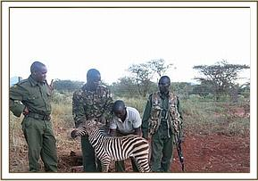 Team assisting a weak  young zebra