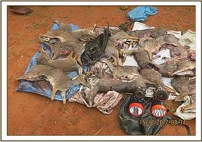 Dikdik carcasses found by the teams
