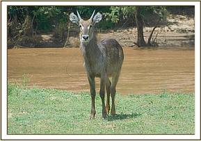Waterbuck at the Athi area