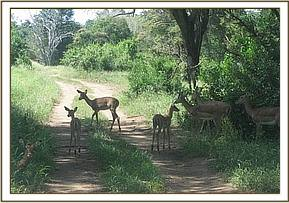 Impalas seen at Saltlick ranch