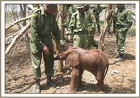 Simba team with voi keepers rescuing an elephant