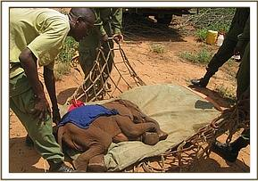 The team with voi keepers rescuing an elephant