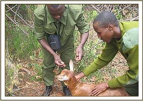 Removing the snare from around the goats neck