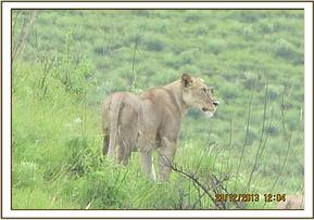 Lioness seen at Kikunduku area