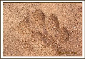 Lion paws seen at Kalovoto