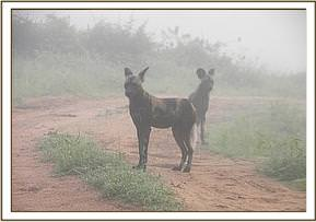 Wild dog sighted on patrol at Umbi