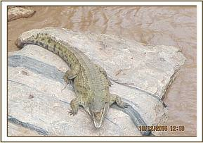 A crocodile sighted at athi river