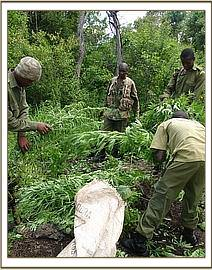 Destroying the bhang plantation