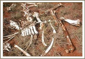 Remains of a snared giraffe