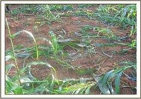 The damaged crops
