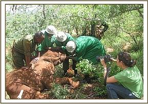 The DSWT Team rescue the orphaned elephant