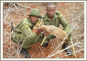 Rescuing a live dikdik from a snare