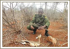 The carcass of a snared dikdik