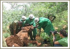 The DSWT team rescue an orphaned elephant