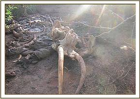 Tusks recovered and handed over to KWS