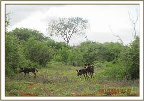 A pack of wild dogs