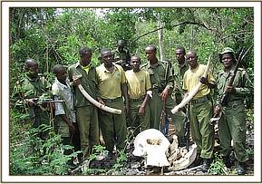 Tusks recovered from elephant carcass
