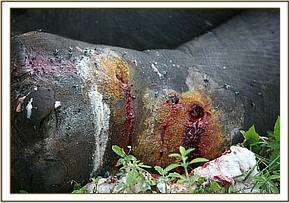 The arrow wounds of the injured elephant