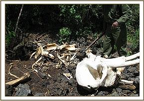 possible poached elephant carcass