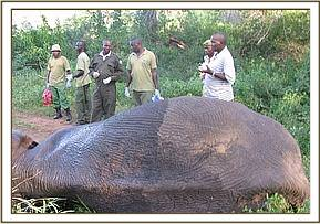 Wounded elephant being treated