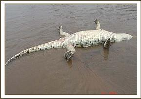 A dead crocodile at Mwakila