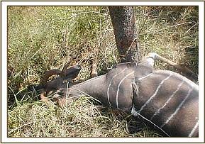 The snare can be seen around the Lesser kudu