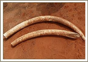 Tusks recovered from the elephant Carcass