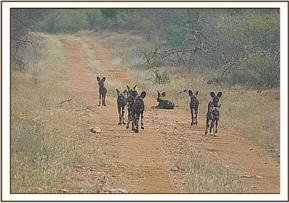 Wild dogs on the road at Kotas
