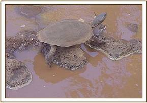 A turtle at the Tsavo River