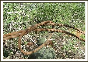 A heavy buffalo snare found at saltlick ranch