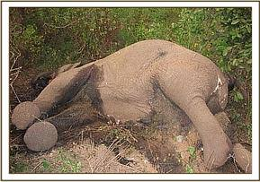 The poached elephant found by DSWT desnaring team