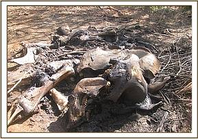 Old elephant carcass
