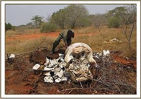An old Elephant carcass_ Bachuma-Dakota.